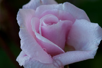 cyclamen_and_rose-4773
