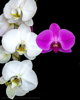 Whites_n_Purple_Orchid-6641