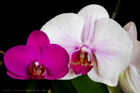 Two Orchids