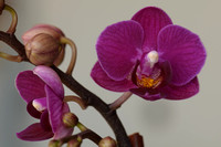0001-11-02-27_New_Orchid-5322