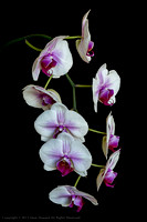 white_n_pink_orchid-9110