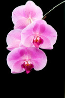 0005-Christmas_Orchid-3764