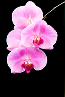 0004-Christmas_Orchid-3763