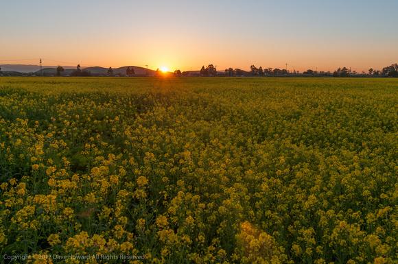 mustard_sunset-8047