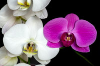 white_n_purple_orchids-6638